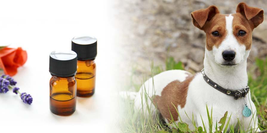 safe essential oils to consider for your pet essential bracelet. Black Bedroom Furniture Sets. Home Design Ideas