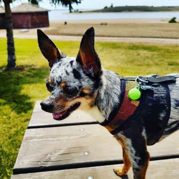 aromatherapy for chihuahuas and dogs